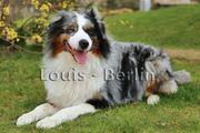 DECKRÜDE - Reinrassiger Australian Shepherd - Blue