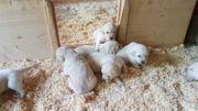 Hundewelpen Golden Retriever Therapiehund