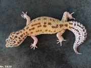 Leopardgecko 2020 Männchen Weibchen Bell
