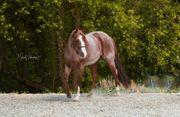 Quarter Horse Deckanzeige