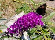 Sommerflieder Schmetterlingsflieder Violett Blumen Pflanzen