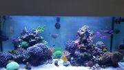 Koralle Stylophora Milka