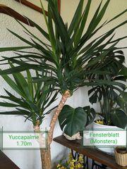 Yuccapalme Fensterblatt - Zimmerpflanzen