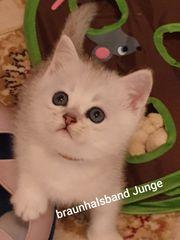 BKH Kitten in Silver Shaded