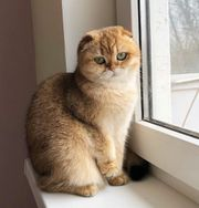 Decckater Scottish fold bkh