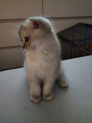 Scottish fold kitten schottische faltohr