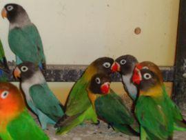 Vögel - Junge Schwarzköpfchen