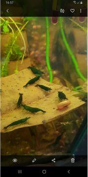 Green Jade Garnelen