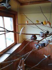 Kanarien Zebrafinken und Diamanttauben abzugeben