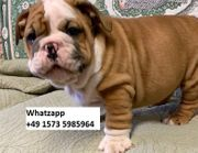 Champion Bloodlines ENGLISH BULLDOGS Welpen