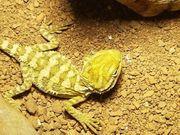 Farbzwergbartagamen orange gelbe Zwergbartagamen Nachwuchs