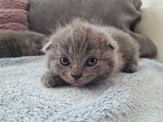 Süße Britisch Kurzhaar Katzenbabys