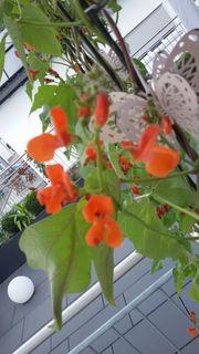 FEUERBOHNE PRUNKBOHNE 8 frische Samen