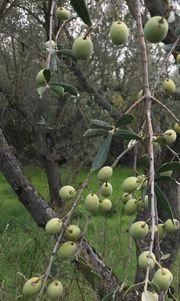Olivenöl Extra Nativ Bio