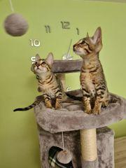 Katzen Kitten Edelmix