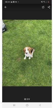 Beagle welpe 4monate alt