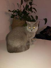 BKH Katze farbe lilac