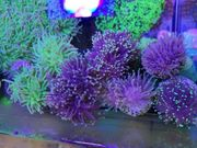 Korallen Meerwasser Euphyllia Salzwasser Korallenableger