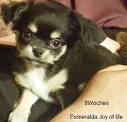 Chihuahuawelpen mit Ahnentafel
