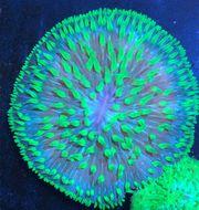 Fungia fungites Koralle Meerwasser