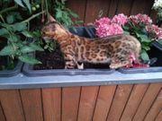 Bengalkatze reinrassig jung