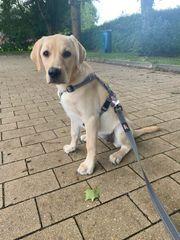 Labrador Welpe 17 Wochen alt