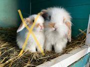 Mini Lop Zwergwidder Kaninchen Rammler