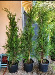 3x Leyland Zypressen grün ca