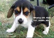 Entzückende Beagle-Welpen zur Adoption