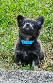 Chihuahua Rüde in Blue Tan