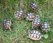 Breitrandschildkröten NZ 2019