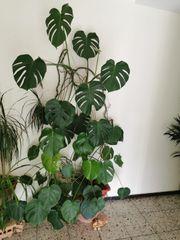 zimmerpflanze