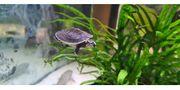 Wasserschildkröten Babys