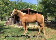 wunderschönen Palomino Paint Horse Wallach