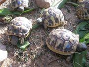 Kleine griechische Landschildkröten von Januar