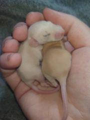 2 Babyratten Topaz und Siam