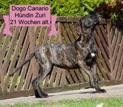 Top Dogo Canario Hündin Zuri
