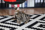 PREMIUM Bengal Kitten mit Stammbaum