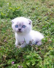Süße Kitten seal point blue