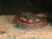 Mojave het blue eyed Lucy