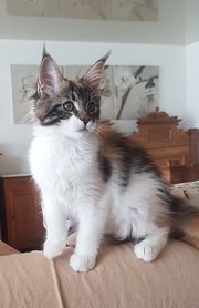 Sehr typvolle Maine Coon kitten
