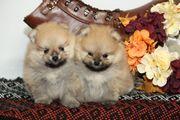 Pomeranian Zwergspitz Welpen zu verkaufen