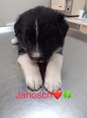 Welpe Janosch sucht sein Zuhause