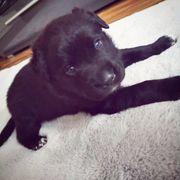 2 Labrador Mädchen suchen noch