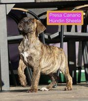 Echte Presa Canario-Dogo Canario Made