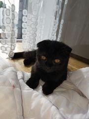 Wunderschöne Scottish fold Kitten Kätzchen