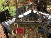 Zebrafinken zu Verkaufen