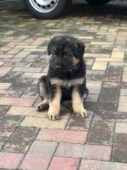 Hundewelpen zu verkaufen