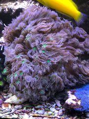 Weichkoralle Clavularia Tricolor