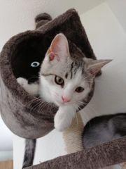 BKH Katzen - Heilige Birma Kitten